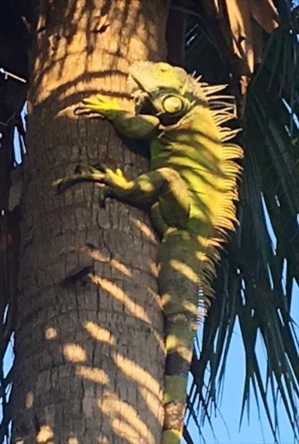 Iguana 800 1